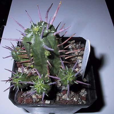 Euphorbia_ferox (33k image)
